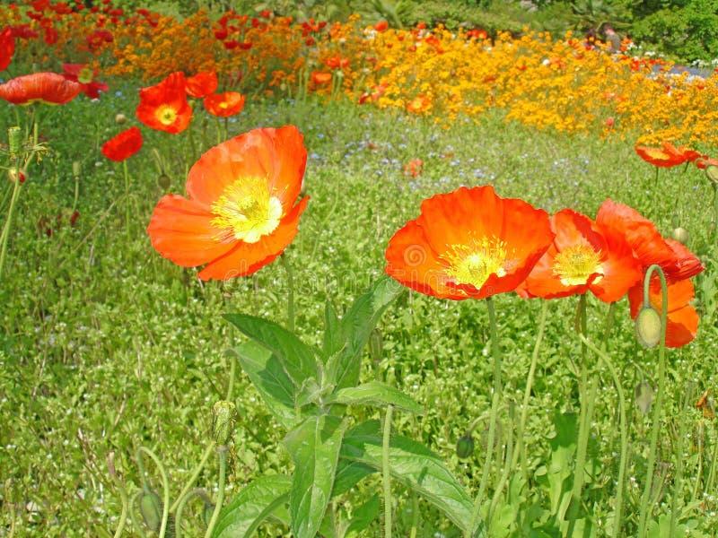 Poppies on the Isle of Mainau stock photos