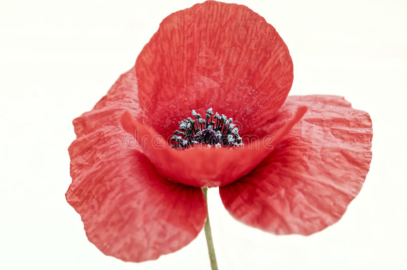 Poppies. Isolated on white background stock photo