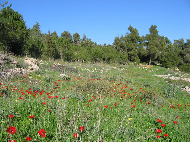 Poppies in Israel. Nature royalty free stock image