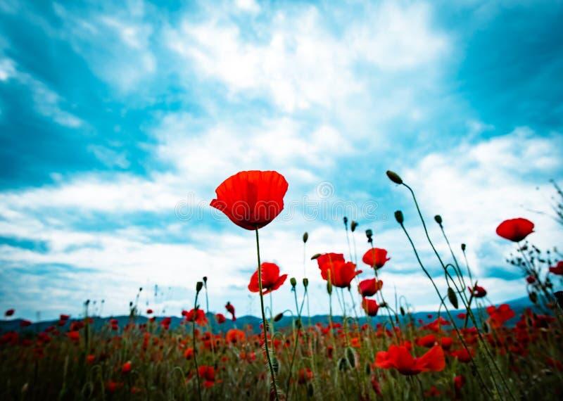 Poppies royalty free stock photos