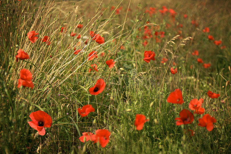 Download Poppies In A Meadow At Dusk Stock Photo - Image: 5934878