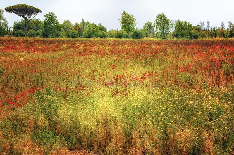Tuscan landscape with poppies, meadow, pine, Tuscany, Italy stock photography