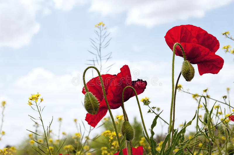 Poppies. On natural blue sky background royalty free stock image