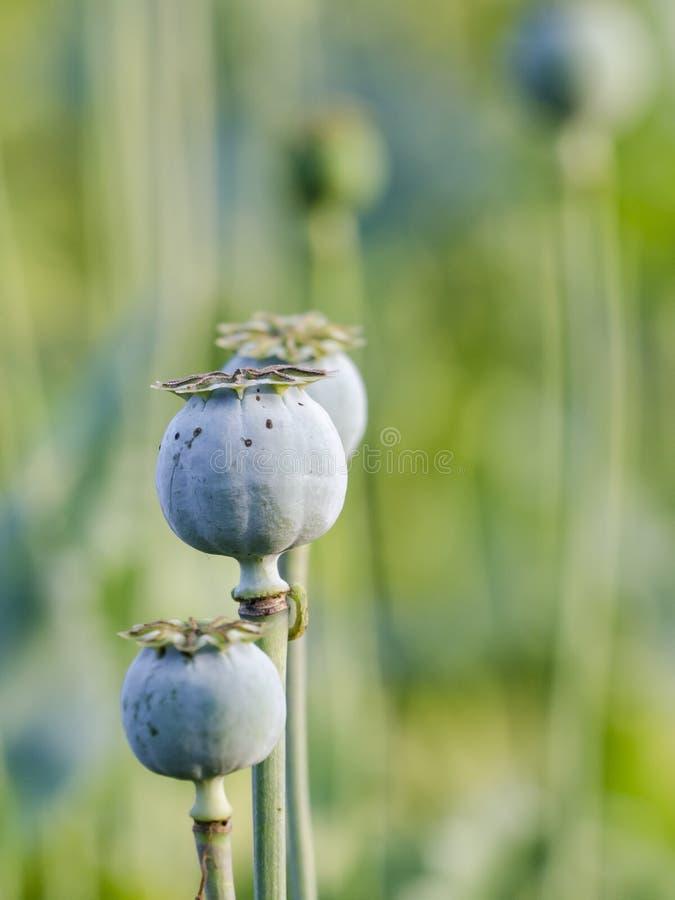 Poppies. Opium poppy (Papaver somniferum) in garden stock photos