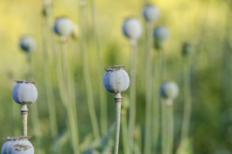Poppies. Opium poppy (Papaver somniferum) in garden royalty free stock photography