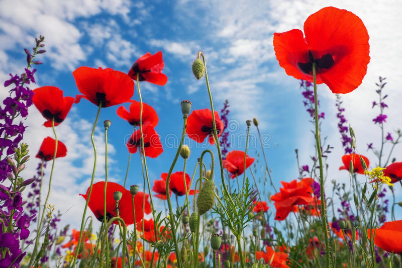 Poppies and other beautiful flowers stock photos