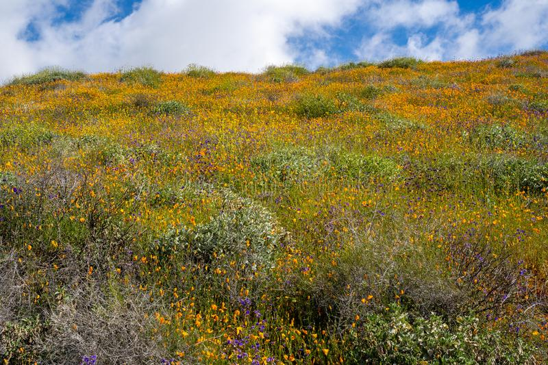 Poppies and other wildflowers bloom on a hillside in Walker Canyon in Lake Elsinore California during the 2019 superbloom.  royalty free stock photo