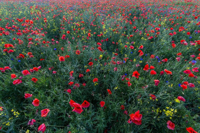 In the middle of the poppy field royalty free stock photos