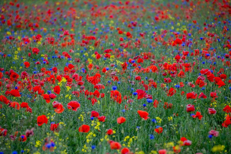 Red poppies and blue cornflowers royalty free stock image