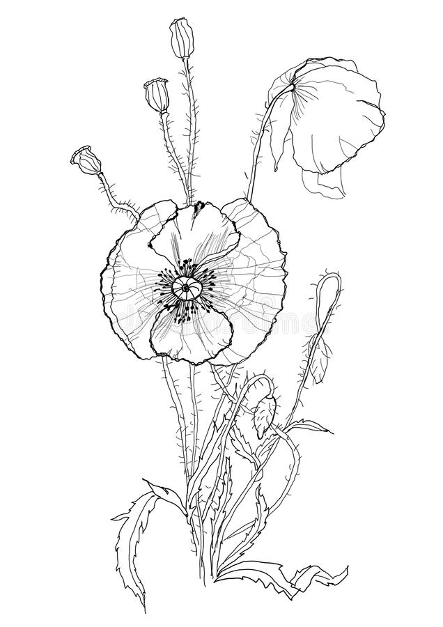 Poppies pen drawing royalty free illustration