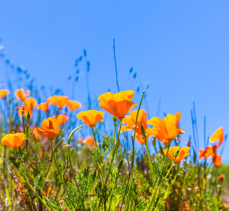 Poppies poppy flowers in orange at California spring fields royalty free stock photos