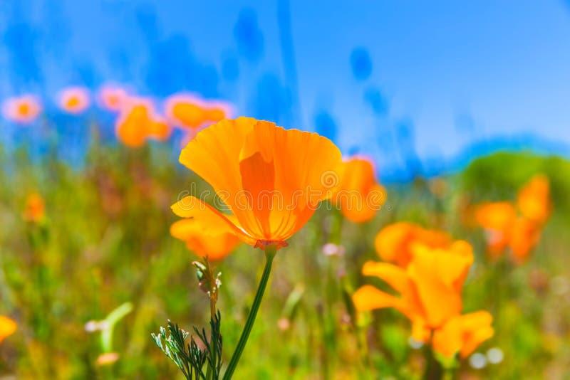 Poppies poppy flowers in orange at California spring fields stock photo