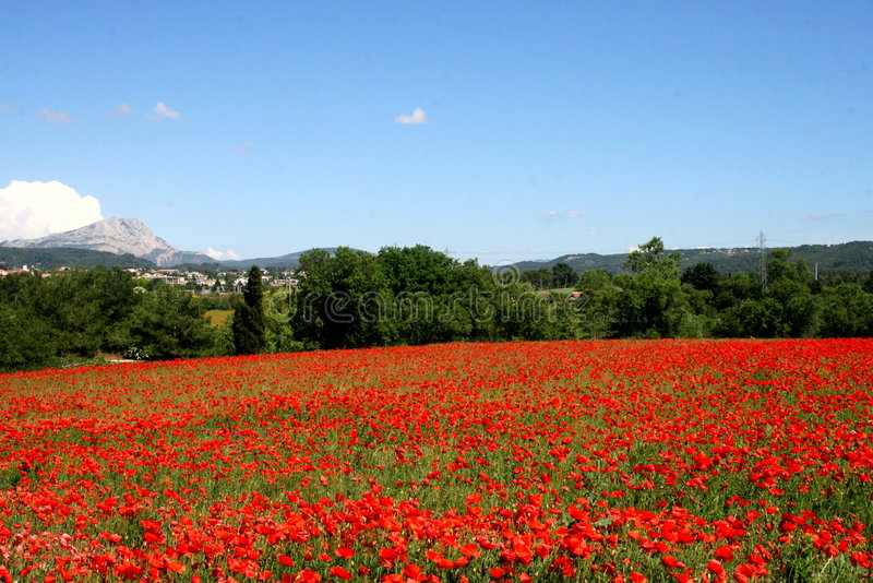 Poppies in provence royalty free stock image
