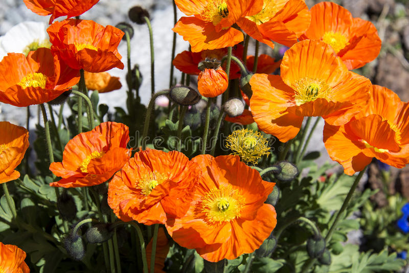 Download Poppies stock image. Image of grass, beauty, field, nature - 41481799