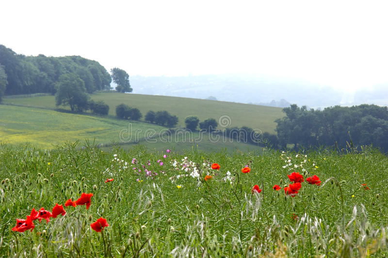 Poppies and Sea Mist royalty free stock image