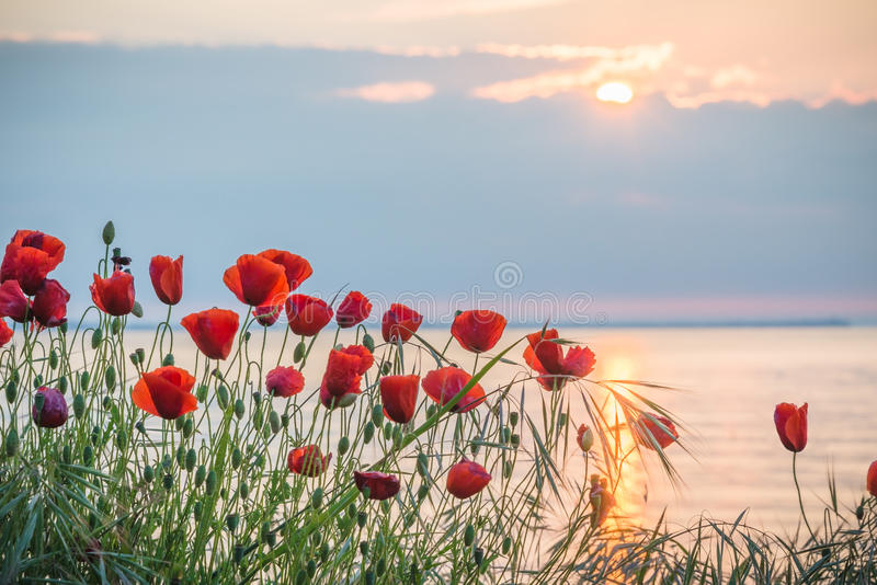 Poppies on the sea shore at sunrise. Red poppies on the sea shore at sunrise stock image