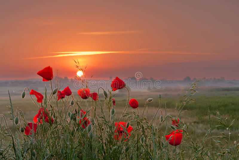 Poppies store royalty free stock photo