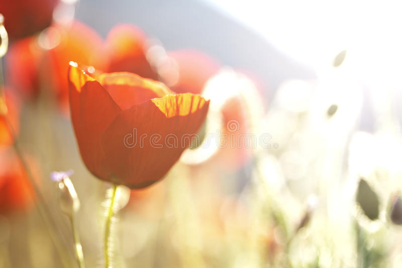 Download Poppies in the sun stock photo. Image of softness, outdoors - 21792800