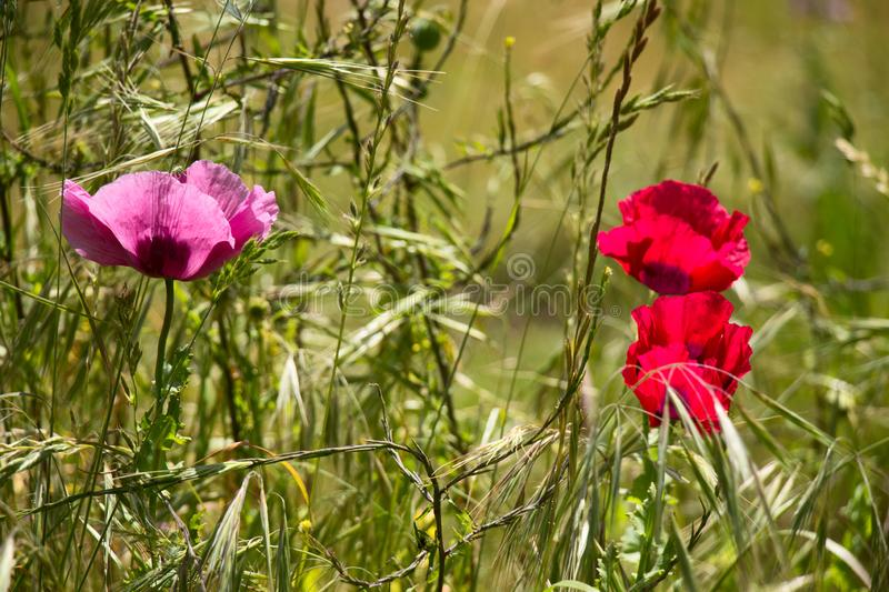 Poppies in the Sun with Green Background royalty free stock images