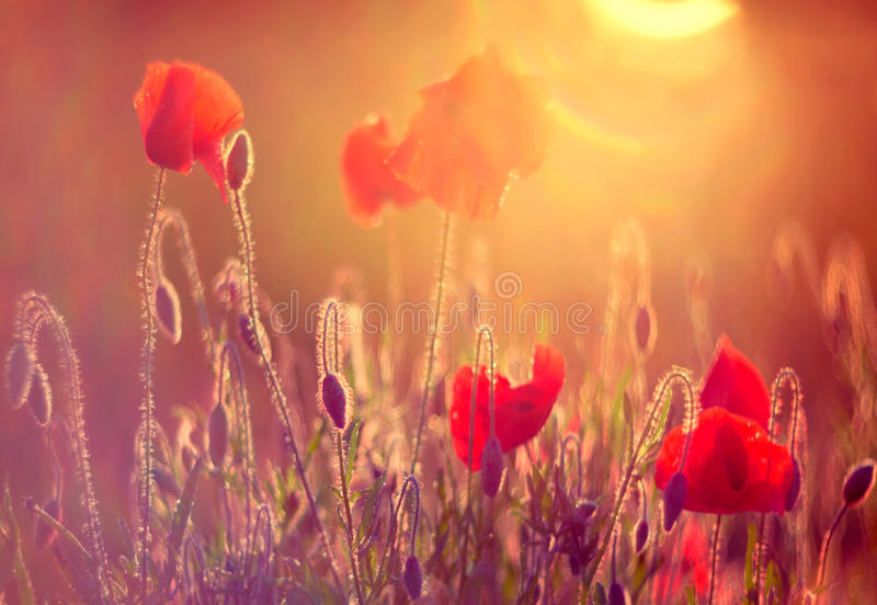 Poppies at sunrise. Red wild poppies closeup in sunshine flare