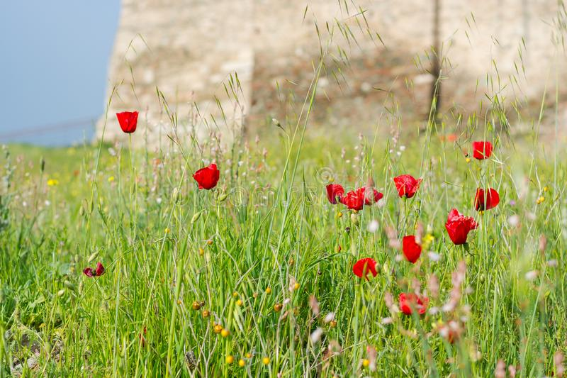 Poppies at the Trigonion Tower in the Upper Town Fortress in Thessaloniki, Greece stock photography