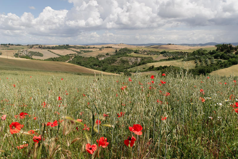 Poppies - Tuscany royalty free stock image
