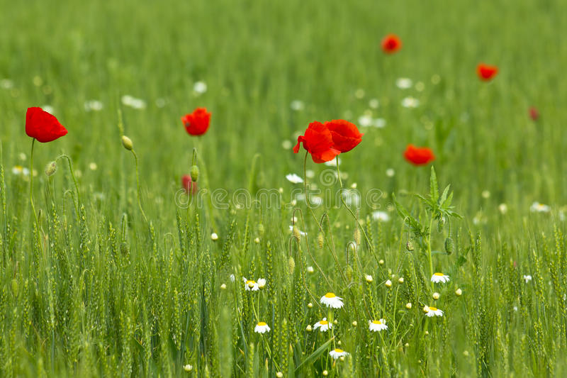 Poppies in wheat field. Poppies flowering wheat lan,bathed in rays of sunshine royalty free stock image
