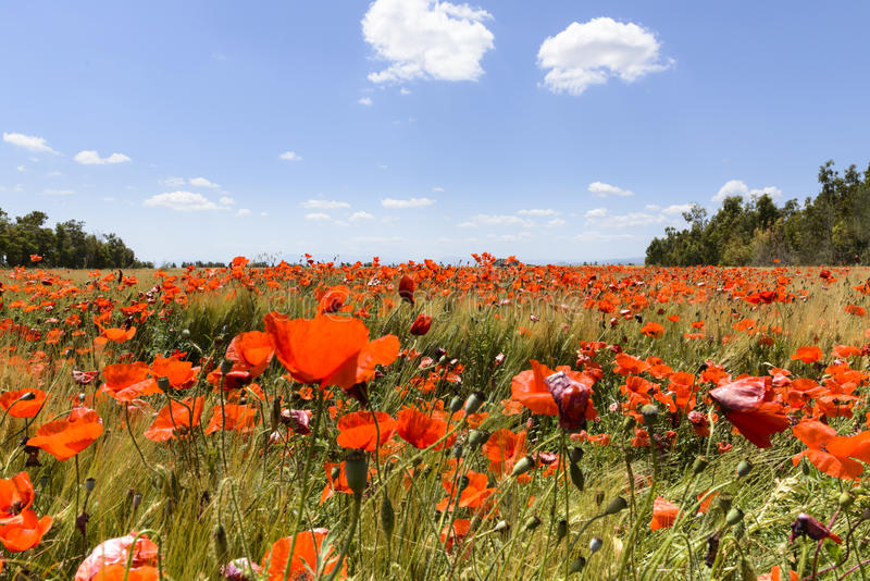 Poppies in wheat royalty free stock image