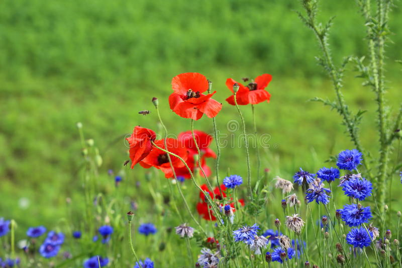 Poppies and wild flowers royalty free stock images