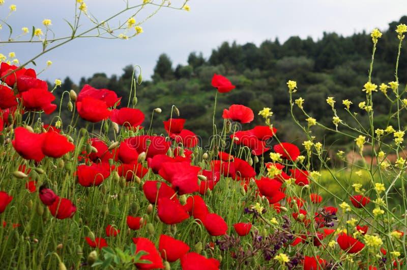 Poppiies vermelhos e flores amarelas fotos de stock royalty free