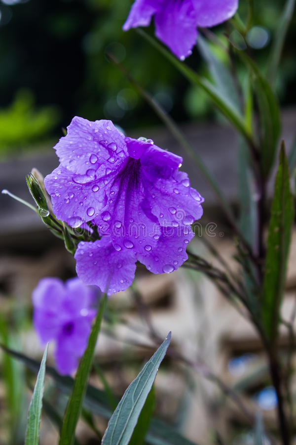 Popping pod flower Purple bloom in the morning stock photos