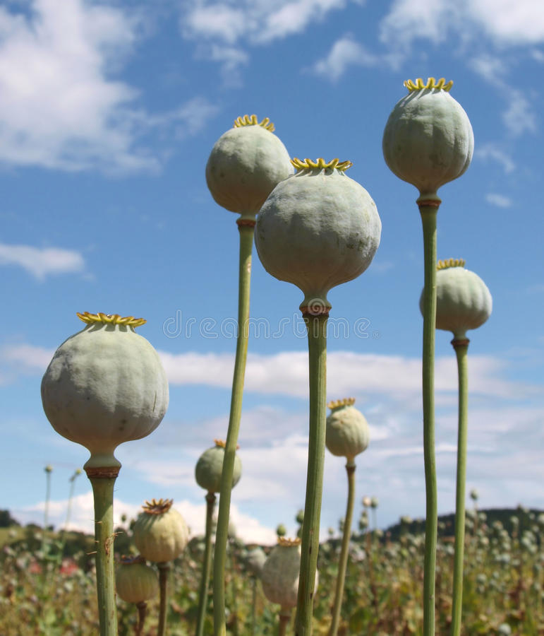 Download Poppy stock image. Image of seed, flower, blooming, spring - 10654135