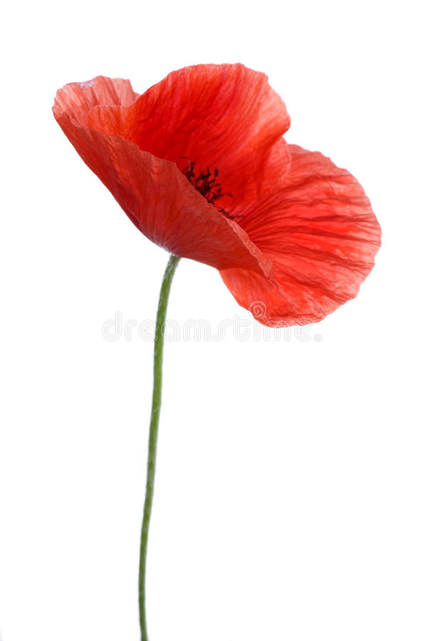 Download Poppy stock photo. Image of field, isolate, background - 11984084