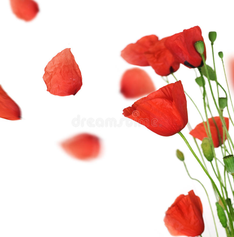 Download Poppy stock image. Image of bloom, fragile, background - 14859317