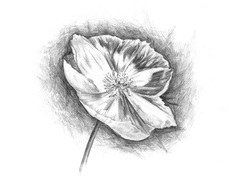 Download Poppy stock illustration. Illustration of plant, painted - 15709897