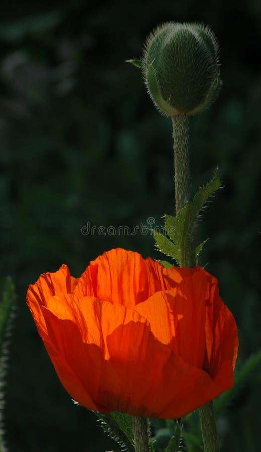 Download Poppy stock image. Image of blooming, blossom, flower, poppy - 167809