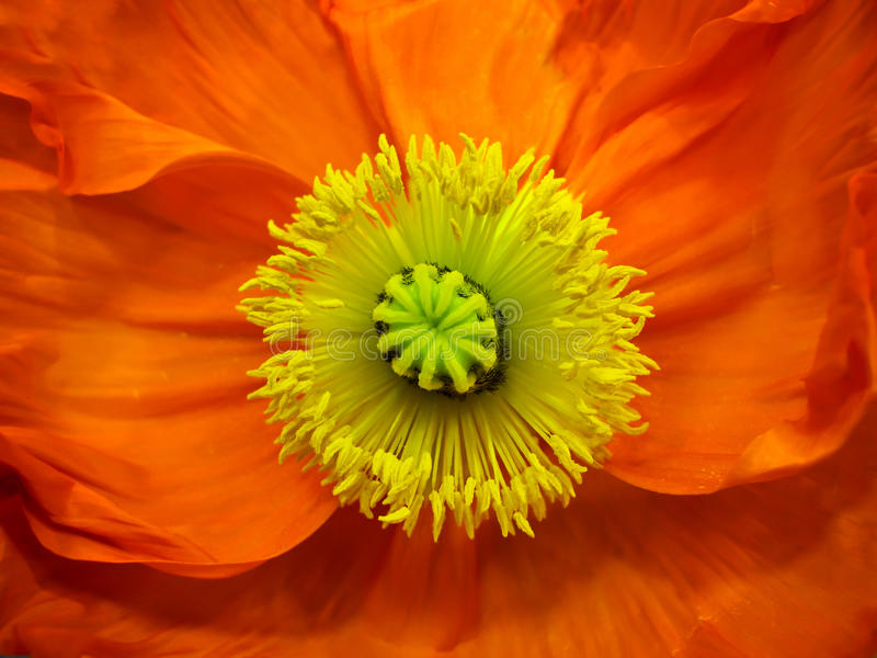 Download Poppy stock photo. Image of grain, yellow, petal, seed - 19490388