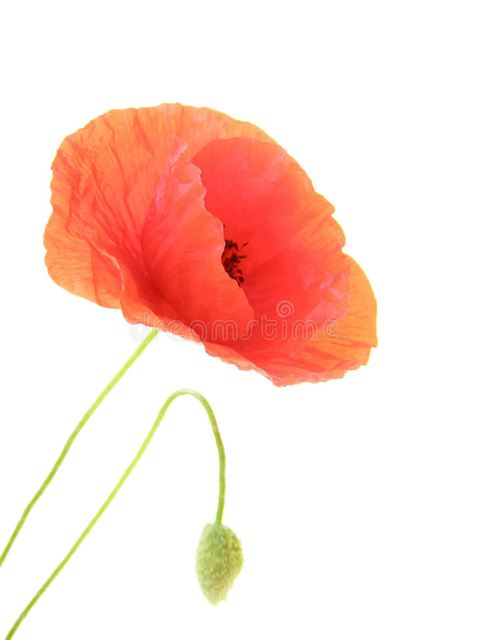poppy, zdjęcia royalty free