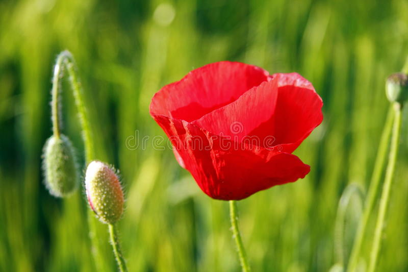 Poppy Stock Photo