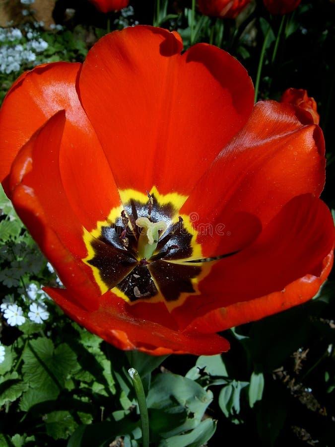 Download Poppy zdjęcie stock. Obraz złożonej z pollen, insekty, stamen - 26922
