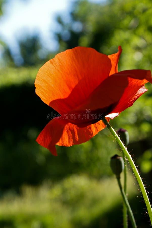 poppy fotografia de stock