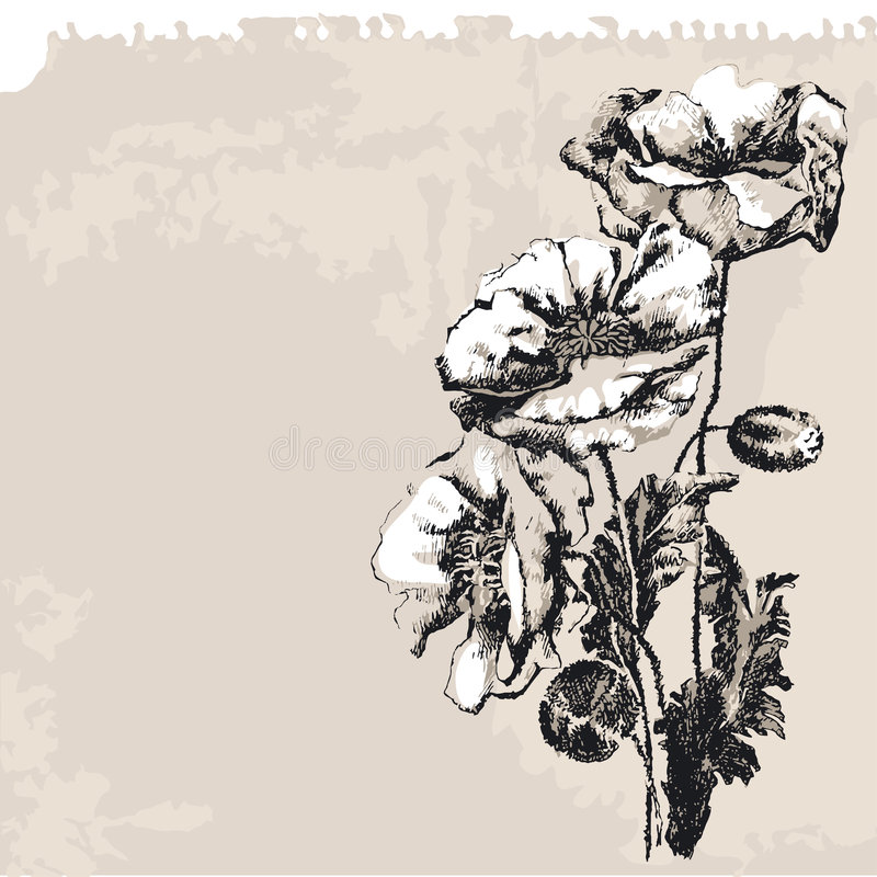 Poppy. Drawing, editable vector illustration vector illustration