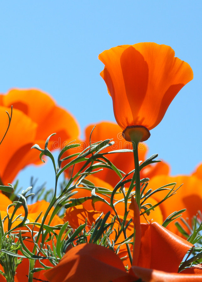 poppy fotografia royalty free