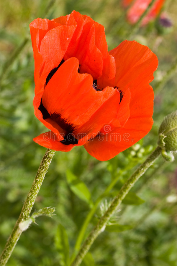 Poppy. Nature series: red poppy in the spring season stock photography