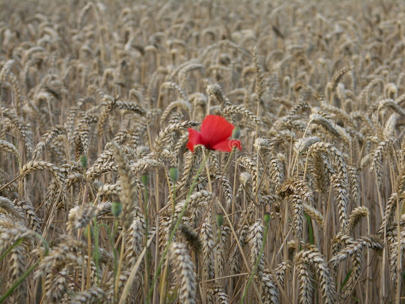Download Poppy Alone In The Wheat Royalty Free Stock Image - Image: 3878956