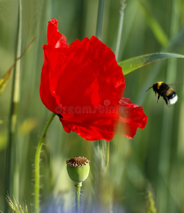 Free Poppy And Bumble-bee Royalty Free Stock Image - 2629666