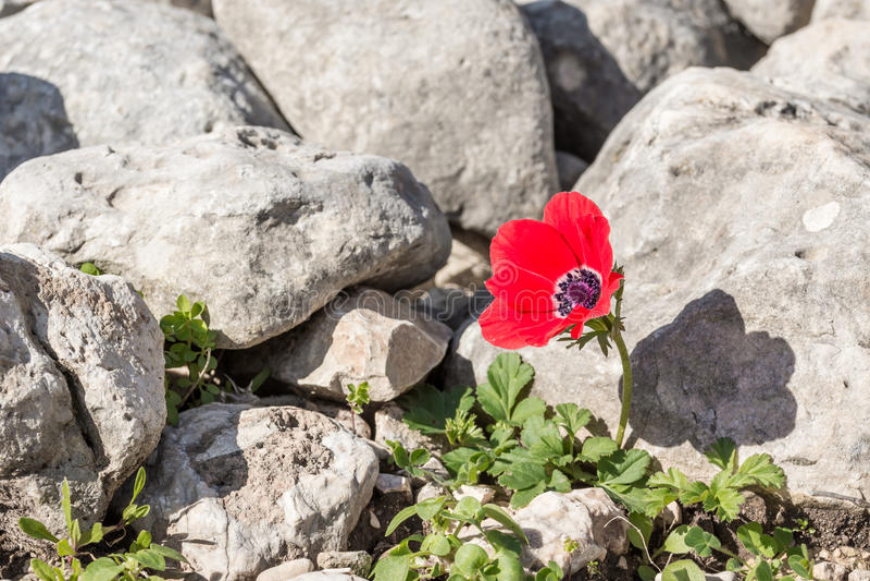 Poppy Anemone stock fotografie