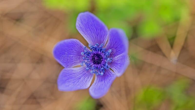Poppy Anemone lizenzfreie stockfotos