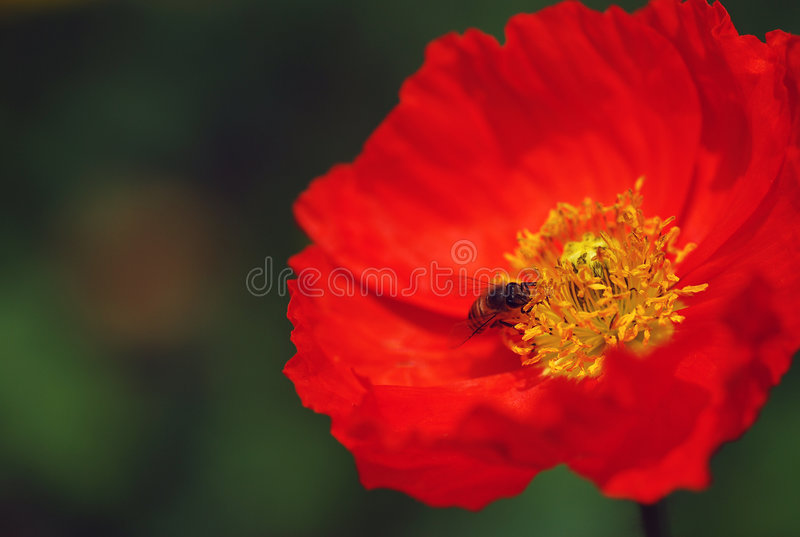 Poppy and bee stock images