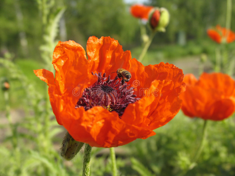 Download Poppy and the bee. stock image. Image of orange, work, insect - 70123
